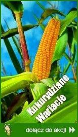 Kukurydziane wariacje